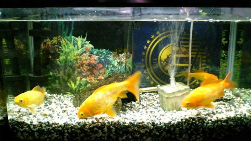 探偵事務所の金魚たち